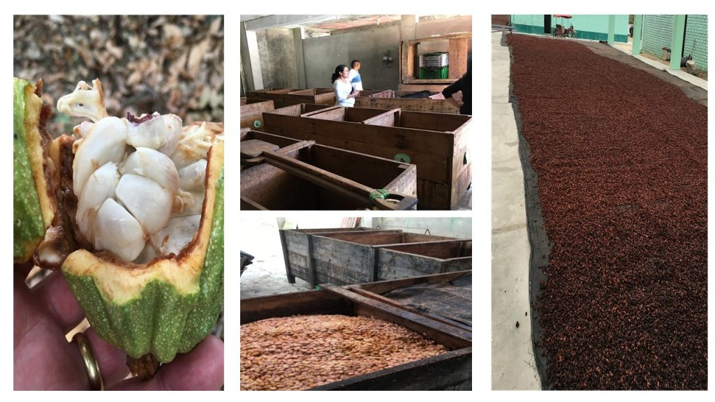 a group of 4 photos showing cocoa beans still in the pod surrounded by the sweet white pulp, the cocoa beans being fermented in wooden boxes.